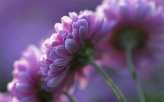 хризантемы, розовые, cvety, весна, лепестки,