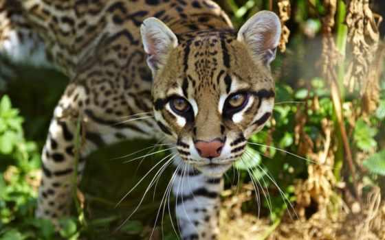 оцелот, кот, оцелота, кошки, очень, америки, wild, напоминает, внешне, ягуара,