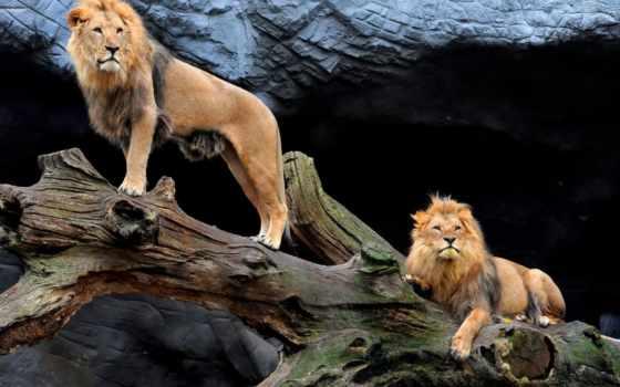 online, lion, красивые, львы, puzzle, zhivotnye, pair, hagenbeck, tierpark,