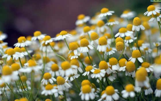 поле, ромашки, рoмашек, cvety, ромашка, happy,