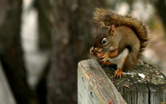 squirrel, eating, nuts, american, animals, squirrels, nut, red, brown,
