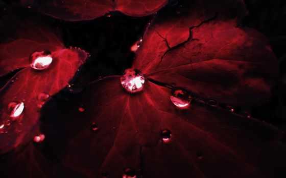 капли, красные, листва, waters, темно, листьях, красных, росы, дек, осень, природа,