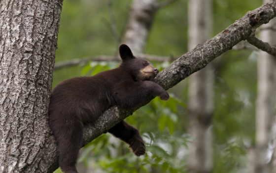 медведь, медведи, барибал, браун, дерево, мишка, ursus, americanus, zhivotnye,