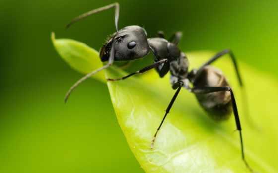 ant, муравьи, муравьев, ordinary, тонкоголовый, муравья, what,
