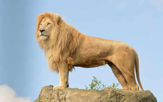 lion, львы, king