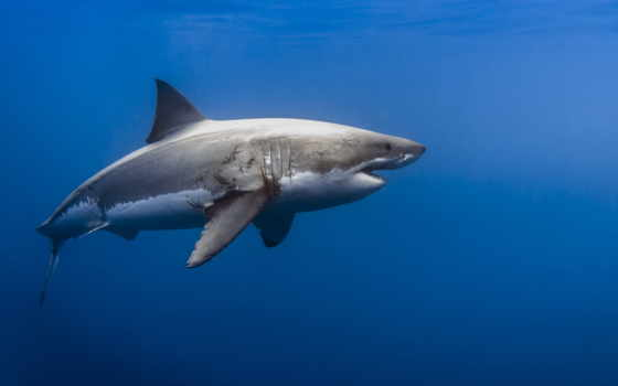 white, great, джордж, женский, акула, sharks, probst,