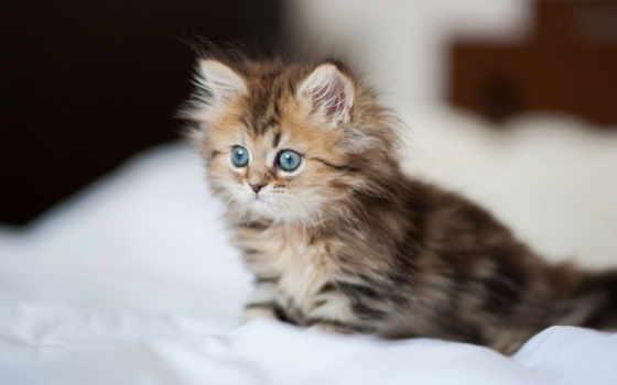 котенок, dream, пушистый, small, серый, white