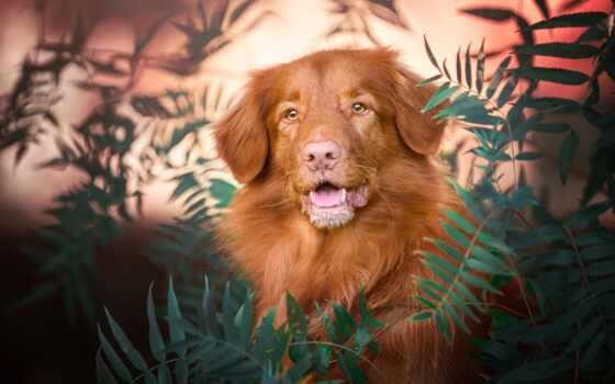 retriever, nova, собака, утка, toll, scotia, морда, portrait, природа, взгляд