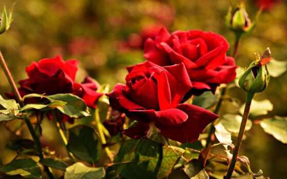 цветы, garden, роза, sectional, растение, makryi, иней, холод, perennial, розовый