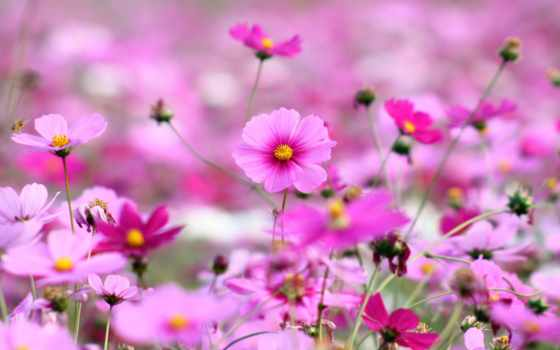 цветы, розовые, яркие, трава, космея, лепестки,