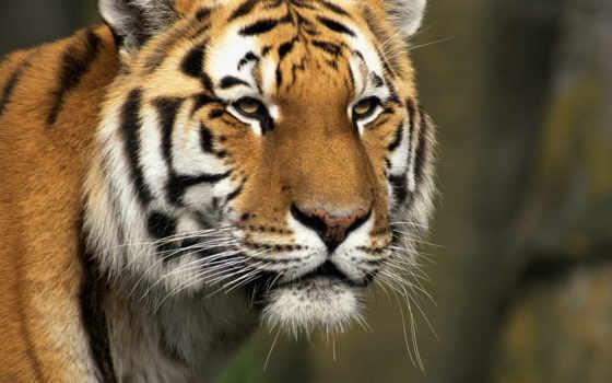 тигры, морда, кошки