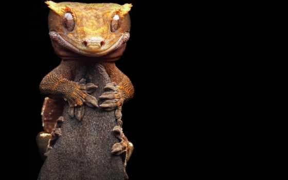 бананоед, gecko, реснитчатый