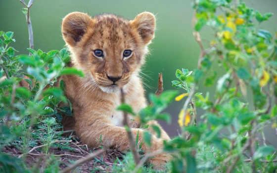 львенок, zhivotnye, lion