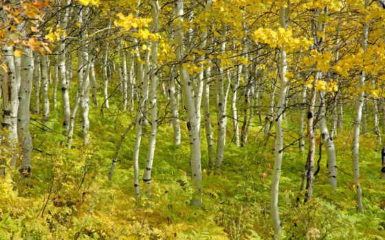 березы, осень, trees, grove, красавица,