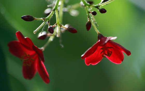 cvety, красные, широкоформатные, розы, бутоны, цветов,