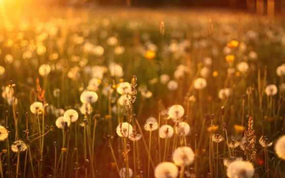 одуванчики, sun, трава, закат, природа, поле,