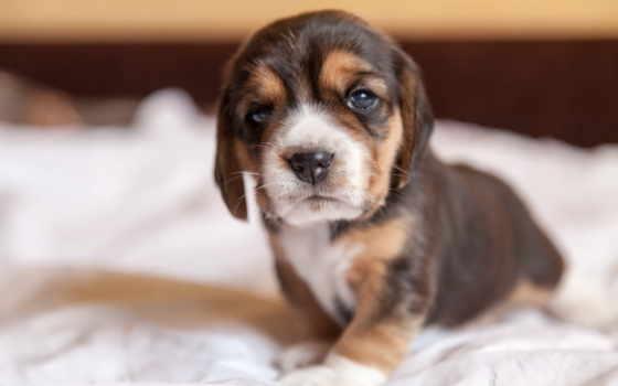iphone, щенок, собака, beagle, apple, взгляд,