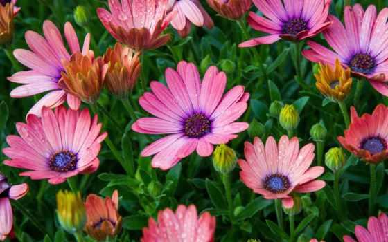 tapety, kwiaty, stokrotka, cvety, półki, kolorowe, afrykańska, zdjęcie,