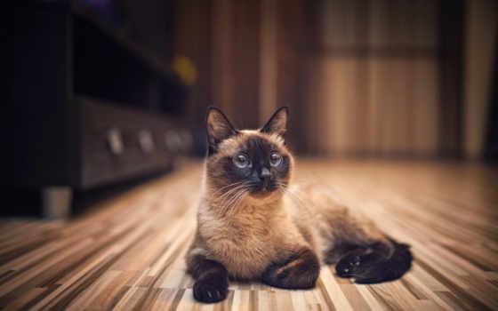 кот, кошки, яndex, кошек, характер, сиамская, породы, тайская, сиамской,
