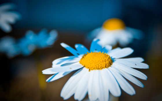 berg, ромашка, blt, цветов, герберы, max, height, белая, лепестки, цветы,