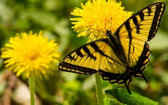 бабочка, одуванчики, одуванчике, cvety, купить, одуванчик, макро, главк, sailboat, картину, картины,