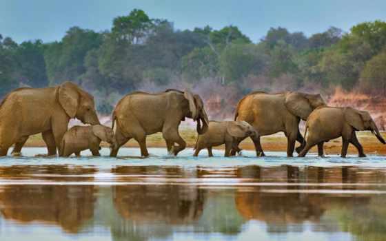 elephants, luangwa, река, слон, crossing, извилины, zambia, african, zhivotnye, bing,