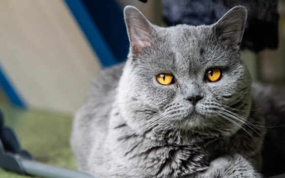 кот, british, гарфилд, shorthair, pair, глаза, доставка, love, поза, страсть
