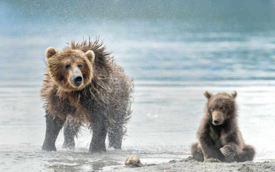 медведь, medvezhonok, ursa, wet, заставка, stokovyi, фото, камчатка, сова, снег