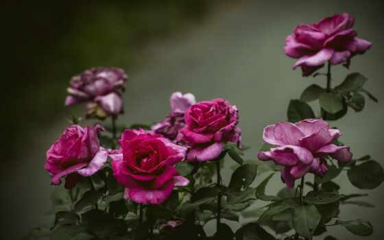 цветы, роза, red, dark, взлёт, bush, лепесток, sectional, свет