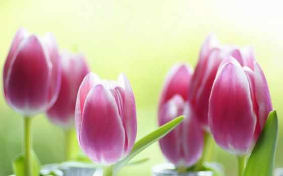 изображение, тюльпаны, tulips