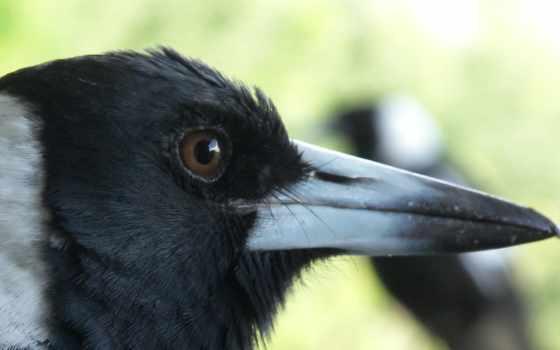 ворона, вороны, птицы