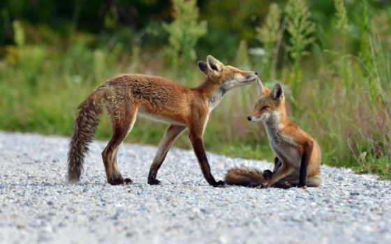 природа, коллекция, уже, фокс, лучшая, лисы, молодой, загружено, летом,