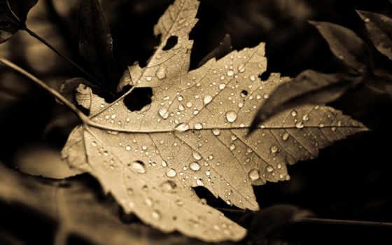 листва, природа, sepia, monochrome, макро, растения, капли, похожие, опавшие, фоны,