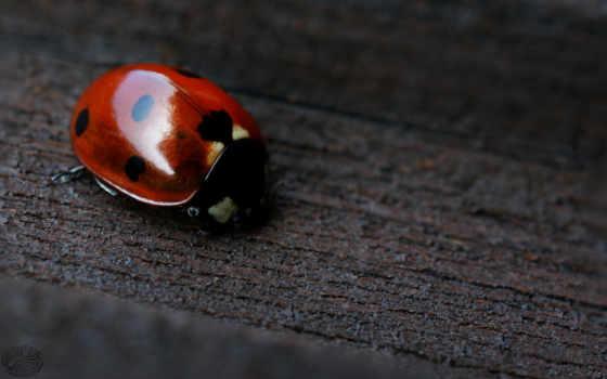 ladybug, amazing, фон, black, red,