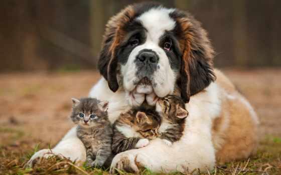 сенбернар, санкт, петербург, год, владелец, комментарий, щенок, cute