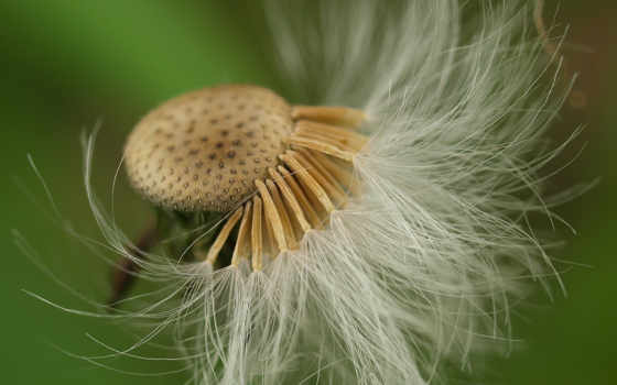 природа, одувачик, лес, цветок, трава, тайга,