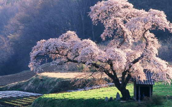дерево, сакуры, everything