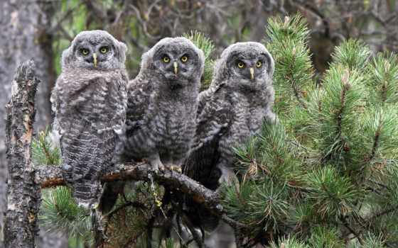 branch, совы, птицы, pine, неясыть, бородатая, trinity, две, трио,