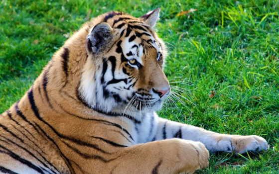 тигр, досках, zhivotnye, хищник, картинка, кот, большая, wf, ложь,