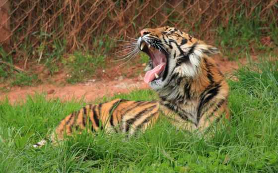 тигр, биг, трава, teeth, кот, eur, ложь,