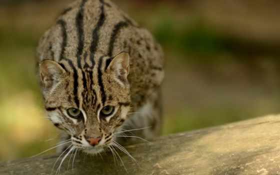 кот, рыбак, звери, редкие, достаточно, рыболовы, коты, есть,