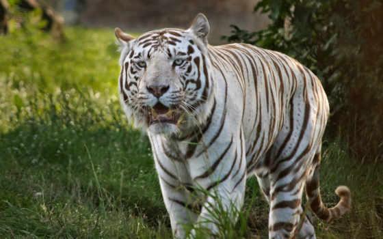 тигры, животные Фон № 19441 разрешение 1680x1050