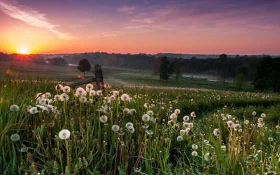 поле, одуванчики, природа