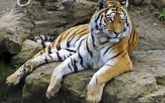 тигр, amur, zhivotnye