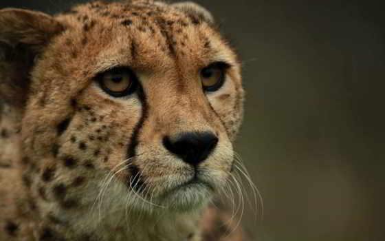 гепард, смотреть, морда