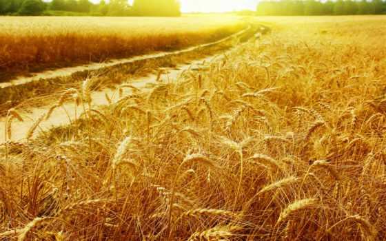 поле, дорога, пшеница, rays, фотообои, пейзажи -, золотые, колоски, sun, пшеничном, интерьере,