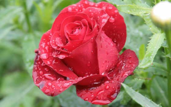 роза, cvety, красная, природа, капли, роса, цветы, утро, росы, розы,