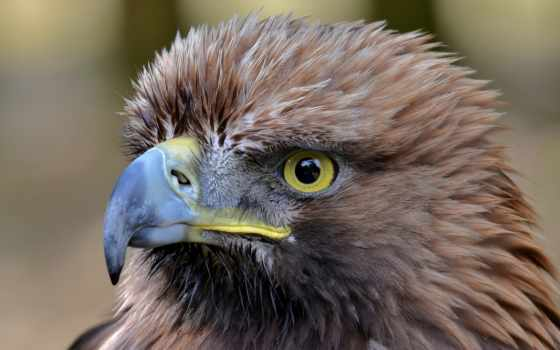 berkut, орлан, pulpit, tapety, золотистый, ptaki,