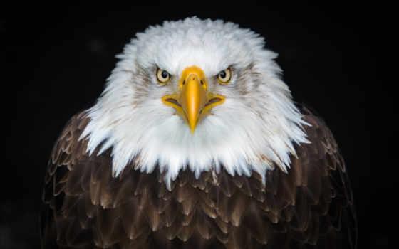 орлан, клюв, ipad, лысый, птица, взгляд,