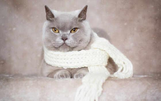 kot, animal, кот, krótkowłosy, tapety, шарф, коты, серый